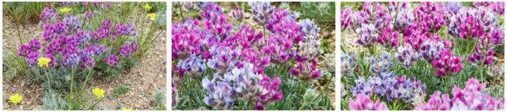 Κολάζ τομέων milkvetch wildflower Στοκ Εικόνες