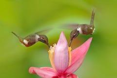 Κολίβριο δύο με το ρόδινο λουλούδι, μύγα Όμορφος ανθισμένος βιότοπος με το πουλί Λίγη πτήση πουλιών πορφυρός-Woodstar, Calliphl Στοκ εικόνες με δικαίωμα ελεύθερης χρήσης