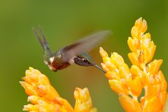 Κολίβριο με το κίτρινο λουλούδι, μύγα Όμορφος ανθισμένος βιότοπος με το πουλί Λίγη πτήση κολιβρίων πορφυρός-Woodstar, ασβέστιο Στοκ Εικόνες