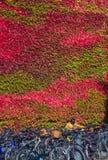 Κολλέγιο Churchill που καλύπτεται στον κόκκινο κισσό Στοκ Εικόνες