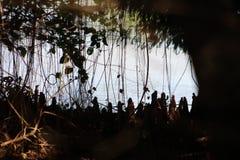 κολοβώματα κυπαρισσιών σε ένα άγριο έλος στοκ εικόνες με δικαίωμα ελεύθερης χρήσης