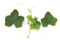 Κολοκύθα κισσών στο άσπρο υπόβαθρο, Coccinia Cucurbitaceae grandis λαχανικό που απομ στοκ εικόνες με δικαίωμα ελεύθερης χρήσης