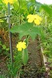 Κολοκύθα σφουγγαριών με πράσινο και το λουλούδι Στοκ φωτογραφίες με δικαίωμα ελεύθερης χρήσης