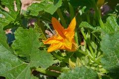 Κολοκύνθη, κολοκύθι, κολοκύθια, κίτρινο λουλούδι του φυτικού κολοκυθιού με τα πράσινα φύλλα στοκ εικόνες με δικαίωμα ελεύθερης χρήσης