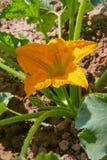 Κολοκύνθη, κολοκύθι, κολοκύθια, κίτρινο λουλούδι του φυτικού κολοκυθιού με τα πράσινα φύλλα στοκ φωτογραφίες