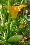 Κολοκύνθη, κολοκύθι, κολοκύθια, κίτρινο λουλούδι του φυτικού κολοκυθιού με τα πράσινα φύλλα στοκ φωτογραφίες με δικαίωμα ελεύθερης χρήσης