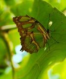 Κολομβιανή πεταλούδα Tipycal Στοκ Φωτογραφίες