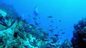 Κολυμπήστε κατευθείαν ενός σχολείου των μαύρων και μπλε ψαριών με τους δύτες ανωτέρω απόθεμα βίντεο