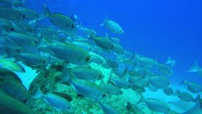 Κολυμπήστε μαζί με ένα μεγάλο σχολείο των ψαριών απόθεμα βίντεο