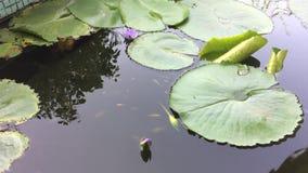 Κολυμπήστε τα ψάρια που κολυμπούν στις λίμνες λωτού απόθεμα βίντεο