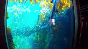 Κολυμπώντας καρχαρίας με kelp και σαρδέλλες απόθεμα βίντεο