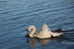 Κολυμπώντας κύκνος στο βαθιά μπλε νερό Στοκ Φωτογραφίες