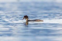Κολυμπώντας μεγάλο λοφιοφόρο κεφάλι τινάγματος cristatus grebe podiceps Στοκ Εικόνες