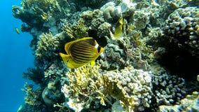 Κολυμπώντας με αναπνευτήρα στην Αίγυπτο, όμορφα κίτρινα ψάρια κοντά στην κοραλλιογενή ύφαλο, σε αργή κίνηση απόθεμα βίντεο