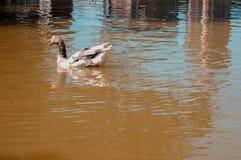 Κολυμπώντας πάπια σε μια ήρεμη λίμνη Όμορφες αντανακλάσεις νερού σε μια λίμνη στοκ φωτογραφίες με δικαίωμα ελεύθερης χρήσης
