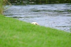Κολυμπώντας σκυλί που τιτιβίζει πέρα από την άκρη στοκ φωτογραφίες με δικαίωμα ελεύθερης χρήσης