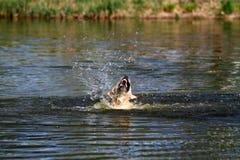 Κολυμπώντας σκυλί στοκ φωτογραφία