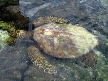 Κολυμπώντας χελώνα θάλασσας Στοκ Φωτογραφία