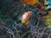 Κολυμπώντας ψάρια anemone σε υποβρύχιο Στοκ Εικόνες