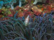 Κολυμπώντας ψάρια anemone σε υποβρύχιο Στοκ φωτογραφία με δικαίωμα ελεύθερης χρήσης