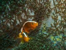 Κολυμπώντας ψάρια anemone σε υποβρύχιο Στοκ εικόνα με δικαίωμα ελεύθερης χρήσης