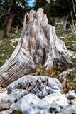 Κολόβωμα δέντρων, ξύλινο σιτάρι χωρίς φλοιό στοκ εικόνες