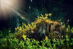 Κολόβωμα δέντρων παραμυθιών, πριονισμένο δέντρο που καλύπτεται με το βρύο, που εισβάλλεται Αποβαλλόμενος, καφετής στοκ φωτογραφία με δικαίωμα ελεύθερης χρήσης