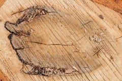 Κολόβωμα του δρύινου δέντρου καταρριφθε'ν - τμήμα του κορμού με τα ετήσια δαχτυλίδια Ξύλο φετών στοκ φωτογραφίες με δικαίωμα ελεύθερης χρήσης