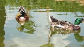 Κολύμβηση δύο πράσινη επικεφαλής παπιών απόθεμα βίντεο