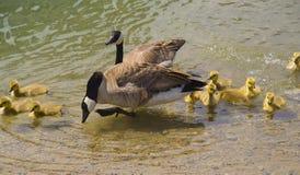 κολύμβηση λιμνών προγόνων gooslings χήνων μωρών Στοκ Φωτογραφία
