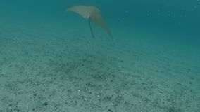 Κολύμβηση με έναν stingray απόθεμα βίντεο