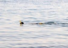 Κολύμβηση με αναπνευστήρα Στοκ Φωτογραφίες