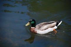 Κολύμβηση παπιών πρασινολαιμών Στοκ φωτογραφία με δικαίωμα ελεύθερης χρήσης