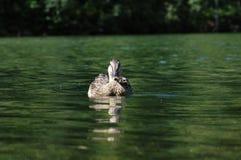 κολύμβηση παπιών Στοκ Φωτογραφίες