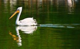 κολύμβηση πελεκάνων Στοκ φωτογραφία με δικαίωμα ελεύθερης χρήσης