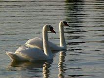 κολύμβηση που συγχρονίζ& Στοκ φωτογραφίες με δικαίωμα ελεύθερης χρήσης