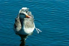 κολύμβηση χήνων Στοκ Φωτογραφία