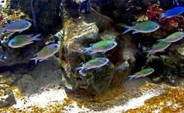 κολύμβηση ψαριών Στοκ Φωτογραφίες