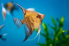 Κολύμβηση Angelfish Στοκ Φωτογραφία