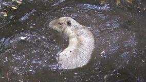 Κολύμβηση Capybara απόθεμα βίντεο