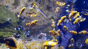 Κολύμβηση Clownfish απόθεμα βίντεο