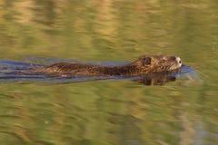 κολύμβηση nutria Στοκ φωτογραφίες με δικαίωμα ελεύθερης χρήσης