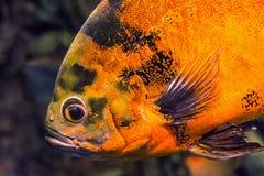 Κολύμβηση ocellatus Astronotus ψαριών του Oscar υποβρύχια Στοκ Φωτογραφίες