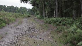Κομμάτια στο δάσος αυλακώματος Cannock, UK απόθεμα βίντεο