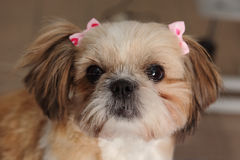 Κομμωτής σκυλιών, hairstyle, SPA για τα σκυλιά Στοκ Εικόνες