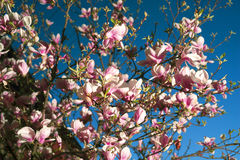 Κομψά λουλούδια magnolia Στοκ εικόνες με δικαίωμα ελεύθερης χρήσης