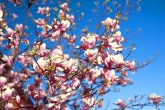 Κομψά λουλούδια magnolia Στοκ φωτογραφία με δικαίωμα ελεύθερης χρήσης