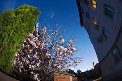 Κομψά λουλούδια magnolia Στοκ Εικόνα