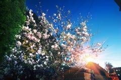 Κομψά λουλούδια magnolia Στοκ φωτογραφίες με δικαίωμα ελεύθερης χρήσης