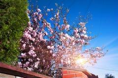 Κομψά λουλούδια magnolia Στοκ Φωτογραφίες